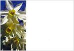 3-daffodil