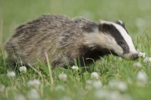 Badger, credit: Andrew Mason courtesy of The Wildlife Trusts