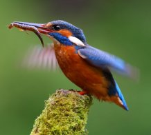 Kingfisher, credit Charles Tyler