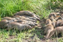 Credit Banded Mongoose Research Project