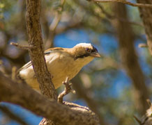 white-browed sparrow weaver bird Dominic Cram main