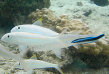 Cleaner fish