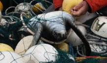 Green turtle bycatch