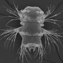 Scanning electron microscopy image of a ragworm larva by Jürgen Berger