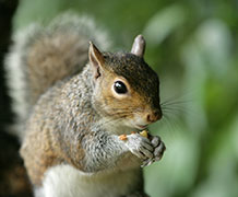 GreySquirrel_Shutterstock main