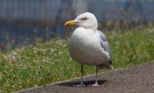 (Sea) gull