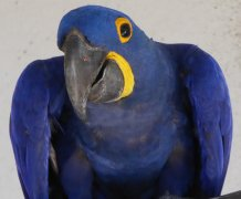 Curious macaw