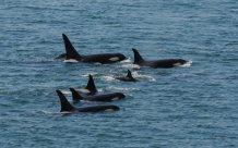 SR killer whales