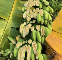 Bananas in Java, Indonesia, infected by the fungal pathogen Fusarium oxysporum f.sp. cubense, causal agent of Fusarium Wilt. Image courtesy Clare Thatcher