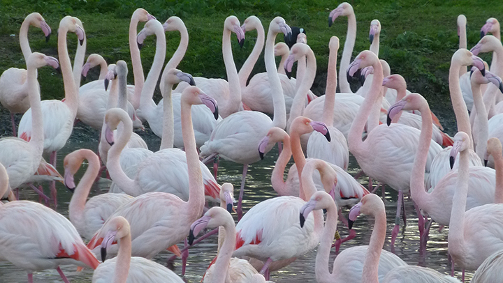The Greater Flamingo Is Normally White But Will Flush Pink On Its Head And Neck To Signal Intention Breed